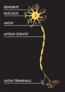 ساختار سلول عصبی (نورون)